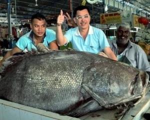 Ikan kerapu 200 kilo sebelum ini di tangkap di penang, pada 7jan awal tahun dijual berharga Rm11 ribu