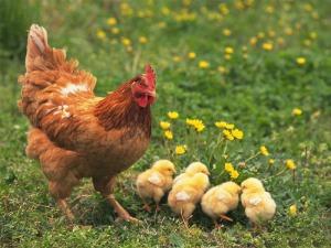 Ayam akan terbang jika merasa sesuatu berlaku terhadap bumi